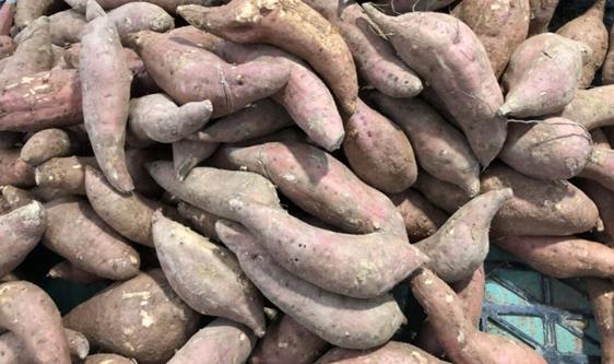 甘薯产业向现代化迈进 深加工设备提供支撑