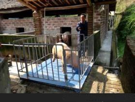 1吨猪用电子磅,称猪用电子地磅