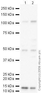 Western blot - Anti-Osteoprotegerin antibody (ab73400) image
