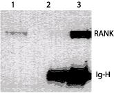 Immunoprecipitation - RANK antibody [64C1385] (ab13918) image